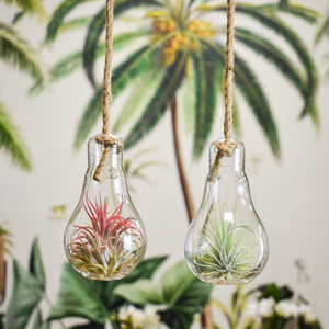 Tillandsia - Light bulb - Medium