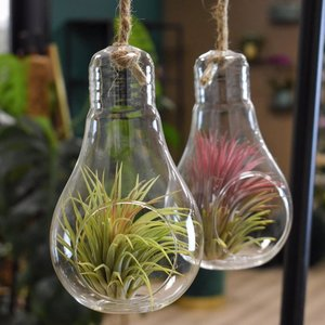 Tillandsia - Light bulb - Large